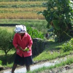 Plantation de riz- Cangga